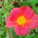 Pink Olasiman