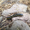 Yellow-spotted Millipede