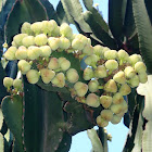Euphorbia candelabro o euphorbia cactus