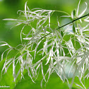 White-flowering fringe tree