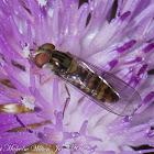 Wasp-mimic Hover-fly