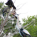Great Blue Heron and Cormorant