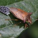Stink bug laying eggs