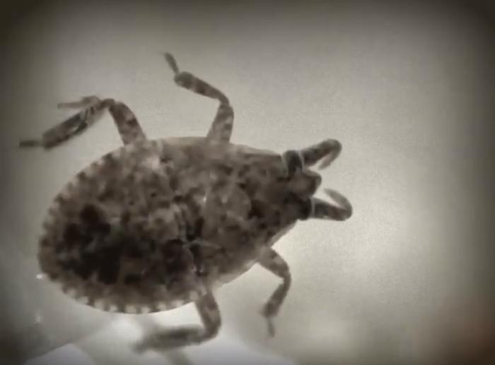 Water Bug (immature)
