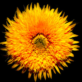 yellow flower by Zeljko Jelavic - Novices Only Flowers & Plants (  )