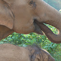 Baby and Mother Asian Elephant