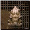Goldenrod Flower Moth