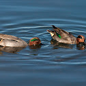 Marrequinha (Common Teal)