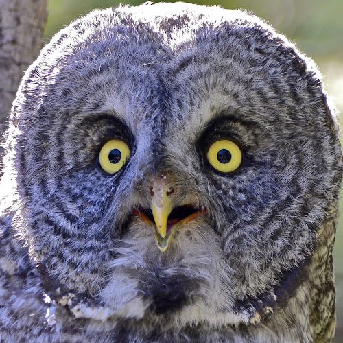 A Close Hoot by  J B  - Animals Birds ( gray owl, raptor, grey owl, close up, portrait,  )