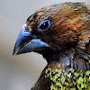 Nutmeg Mannikin or Spice Finch
