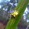 Golden tortoise beetles