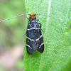 Fairy Longhorn Moth (female)
