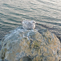 Ringed billed gull