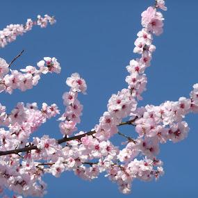 Cherry blossom by Brigi Li - Flowers Tree Blossoms