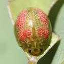 Leaf beetle life cycle