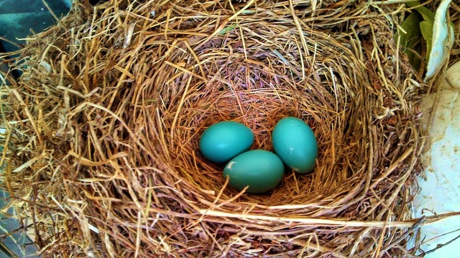 Robin's Nest by Dee Shahan - Nature Up Close Other Natural Objects ( bird, eggs, blue, nature up close, nests )