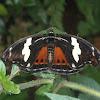 Blue-frosted Catone, mariposa, borboleta, butterfly