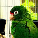 puertorrican parrot