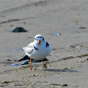 Piping Plover (Female)