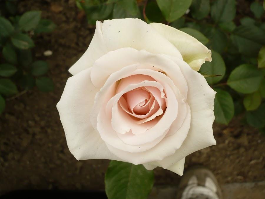 Macro white flowers by Drago Ilisinovic - Novices Only Macro ( rose, macro, white, flowers )