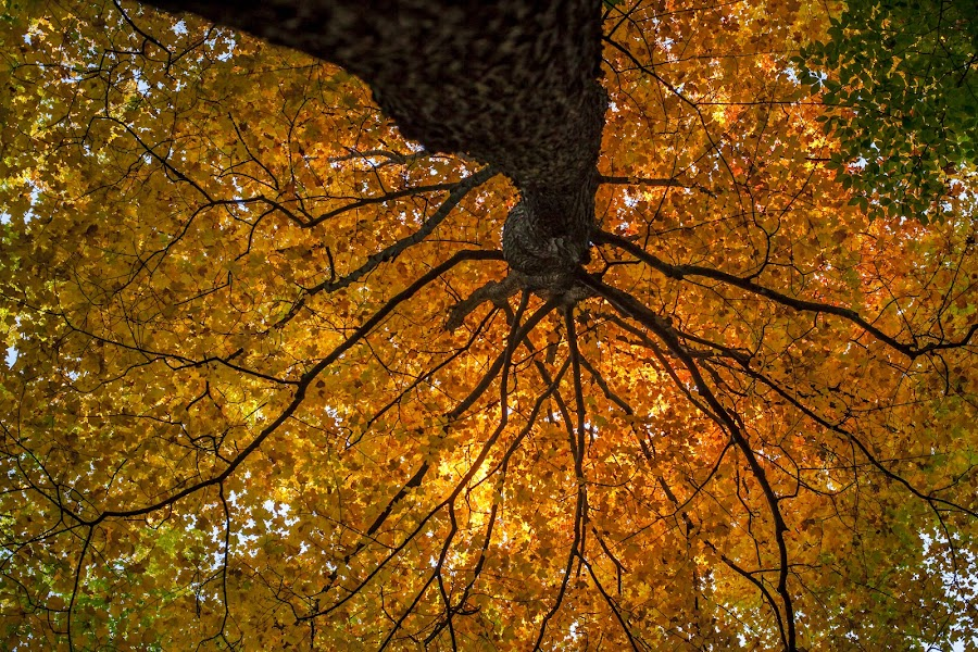 Colors of Fall by Hien Nguyen - Nature Up Close Trees & Bushes ( orange, leafs, autumn, fall, trees, breaches, , color, colorful, nature )