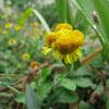 Asteraceae Spp.