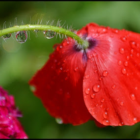 """""""Do not be angry with the rain; it simply does not know how to fall upwards.""""  by Chobi Wala - Flowers Single Flower ( #waterdrop, #nature, #red, #rain, #flower,  )"""