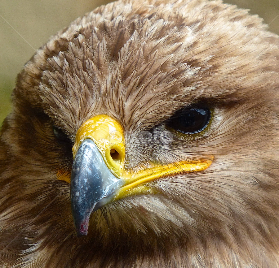 Tawny Eagle by Laura Payne - Animals Birds ( nostril, eagle, stare, tawny, blood, yellow, feather, bill eye, cream, rapter, bird, preditor, beak, brown, nose, black, animal,  )