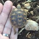 Spur-thighed tortoise - צב יבשה מצוי