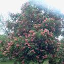 Red horse chestnut tree