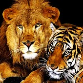 3D Lion and Tiger