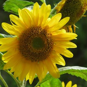 Sunflower by Shishir Desai - Flowers Single Flower ( sunflower, india, flower, Hope,  )