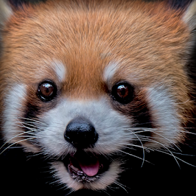 by Shelly Wetzel - Animals Other Mammals ( red panda )