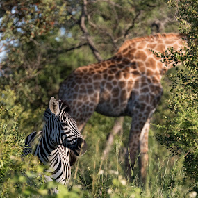 Spots and Stripes by Barbara Nolte - Animals Other Mammals ( kruger national park, giraffe, antelope, south africa, wildlife, african wildlife, zebra, africa )