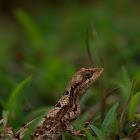 Fan Throated Lizard (Female)