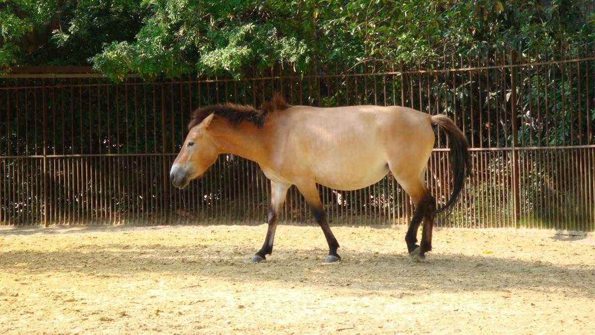 Cheval de Prevalskii