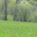 Garza imperial¿?- Purple heron