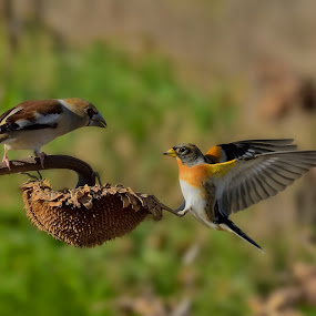Hawfinch and Brambling by Albergamo Paolo - Animals Birds ( paolo albergamo, nature, oasi, birds, animal )