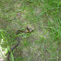 garter snake eating slug
