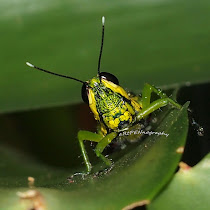Grasshoppers & Crickets of Malaysia