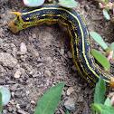 Whitelined sphinx caterpillar