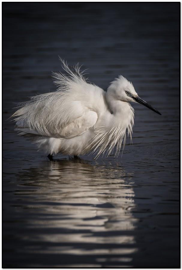 Ruffled by Wessel Badenhorst - Animals Birds (  )