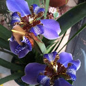 Brazilian Iris