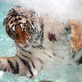 Tiger swimming by Kirsten Gamby - Animals Lions, Tigers & Big Cats ( tiger portrait, tiger underwater, tiger fishing, tiger swimming underwater, tiger swimming, , zoowatch, zoo, animals )