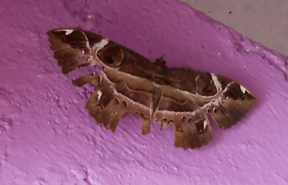 Moths of Borneo