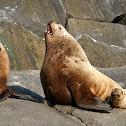 Northern (Steller) Sea Lions