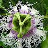 Granadilla/Passionfruit Flower