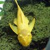 Albino Bristle-nose catfish
