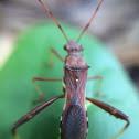 Pod-sucking Bug