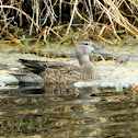 Blue Winged Teal (female)